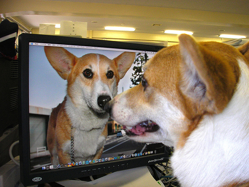 dog looking at mac