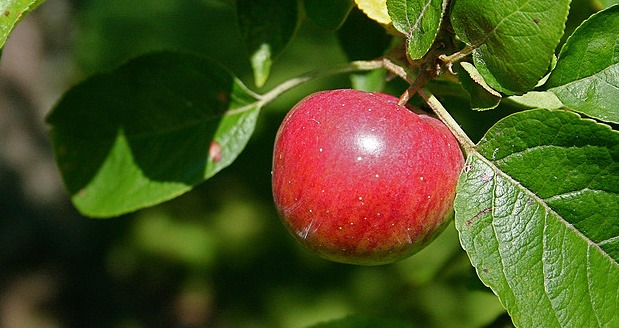 Why Apple is called Apple