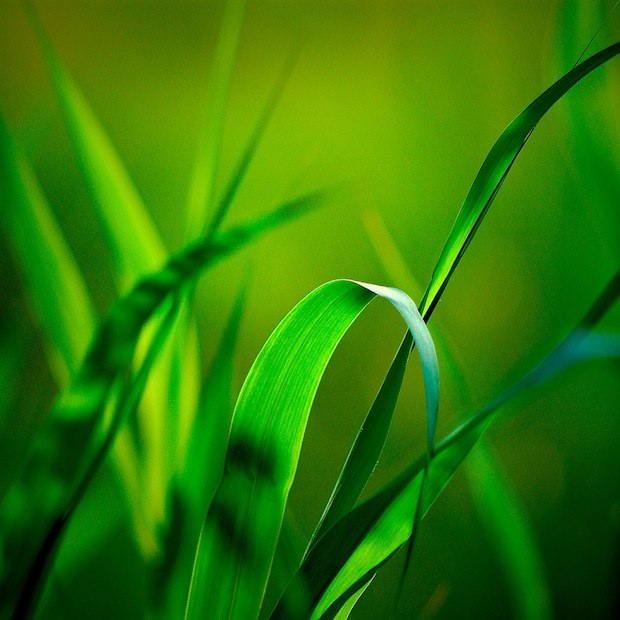 Blades of green grass