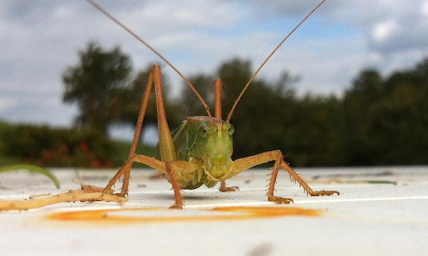 iPhone close up photo of a grasshopper