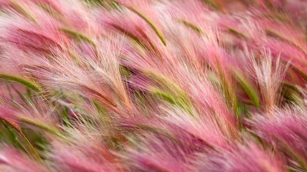 Foxtail barley wallpaper