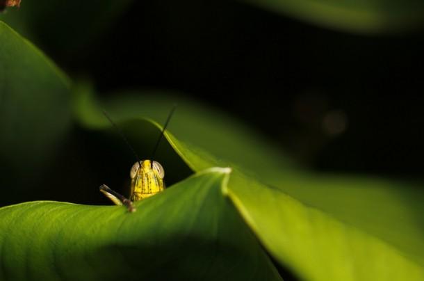 shy-grasshopper