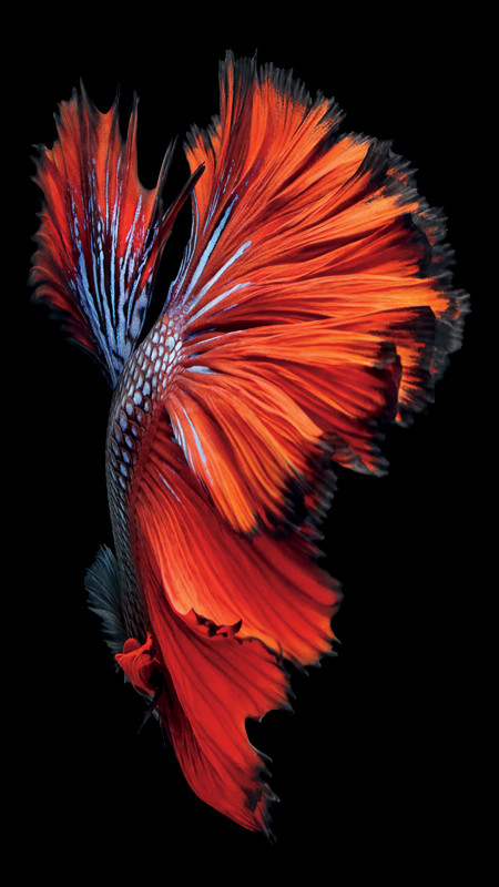 iPhone-6s-Fish-Red-Wallpaper